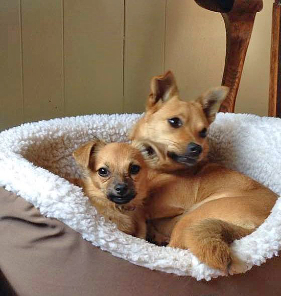 Weezie and Izzy are up for Adoption through Little Big Dog Rescue in Monterey VA